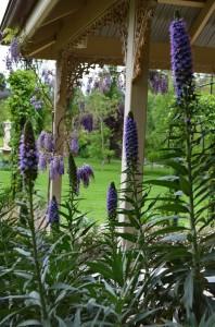 Blue Echium