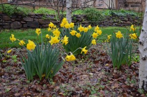 daffodils under the birch trees in late winter