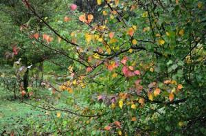 manchurian pear tree