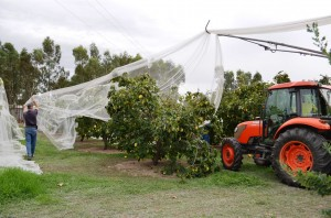 taking the nets off for quince picking