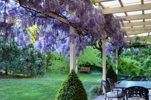wisteria on the back verandah